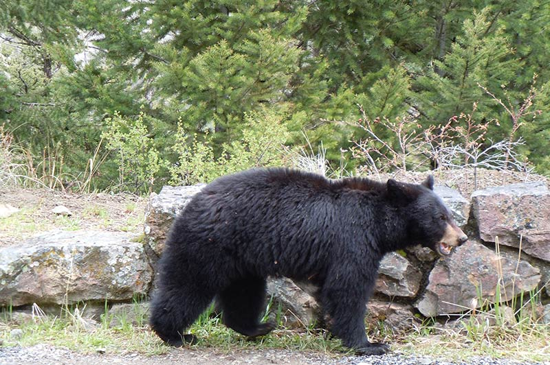 bear-1-yellowstone-tour-1356-from-los-angeles