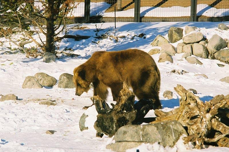bear-in-yellowstone-tour-1386