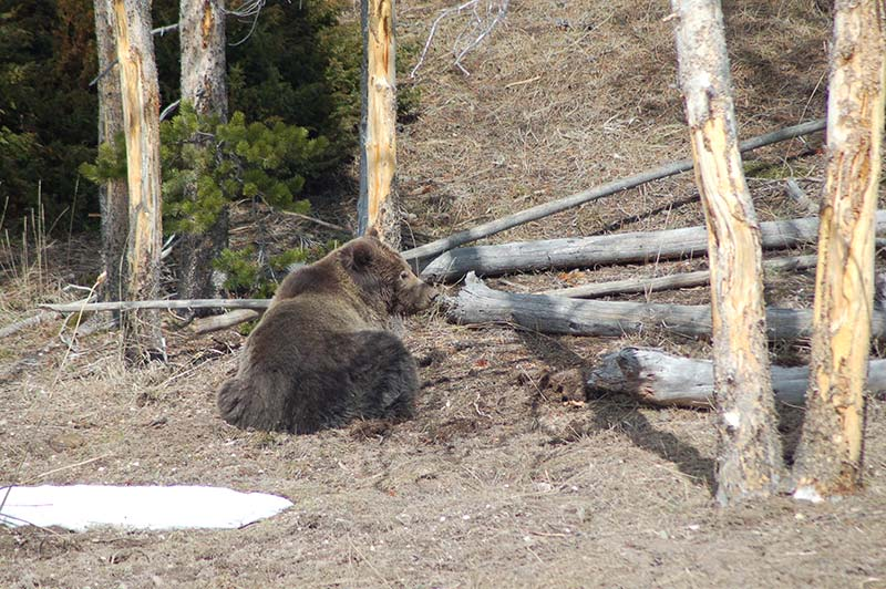 bear-in-yellowstone-tour-1388-from-los-angeles