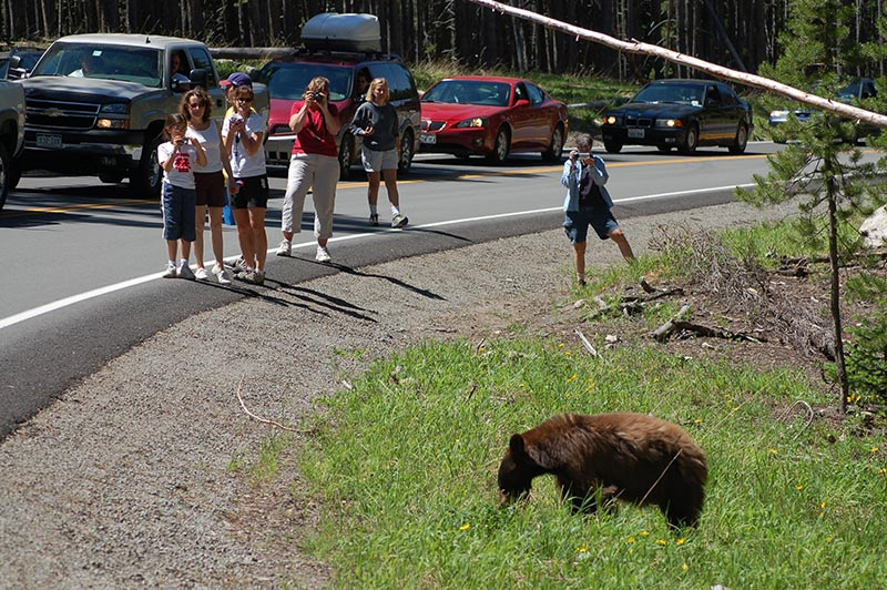 bear-yellowstone-tour-1336-from-slc