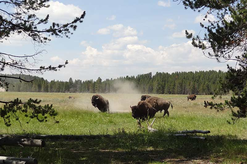 bison-1-yellowstone-tour-1388-from-los-angeles