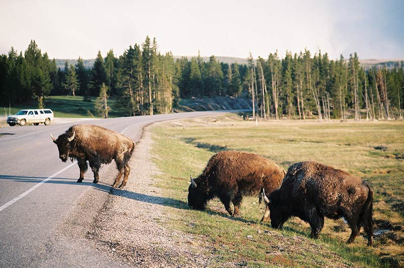 bison-2-yellowstone-tour-1356-from-los-angeles