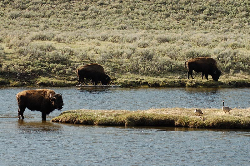 bison-in-yellowstone-tour-1386