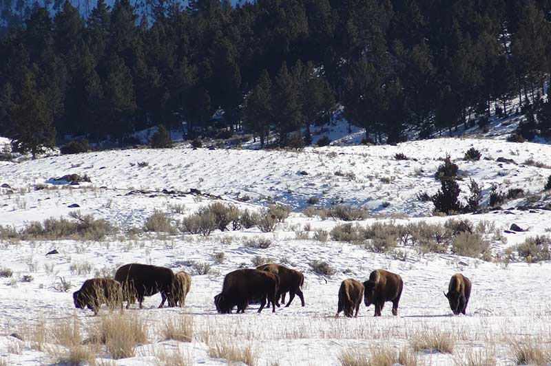 bison-in-yellowstone-tour-1388-from-los-angeles