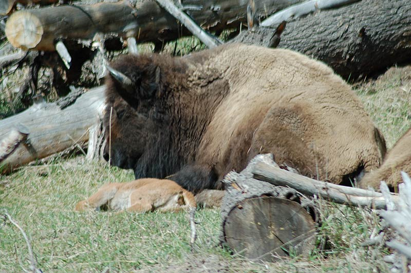 bison-yellowstone-tour-1356-from-los-angeles