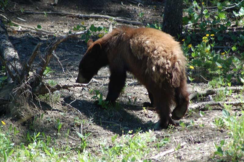 yellowstone-bear-1-tour-1312-from-vegas
