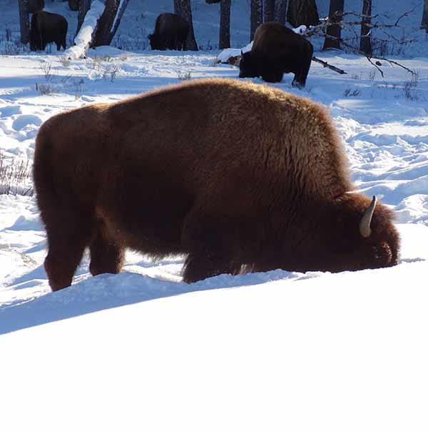 Yellowstone bison in snow