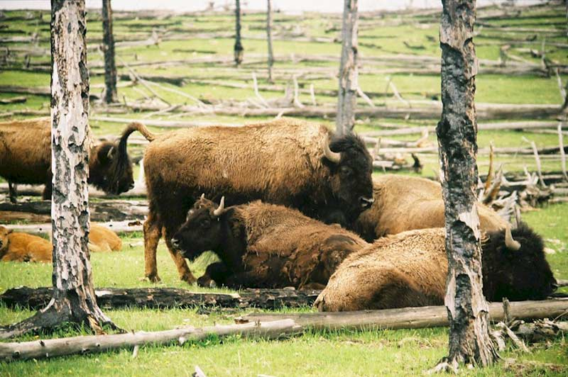 yellowstone-bison-tour-1312-from-vegas