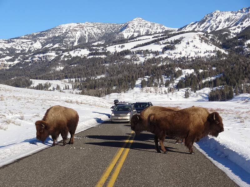 yellowstone-bison-in-winter-season-1406