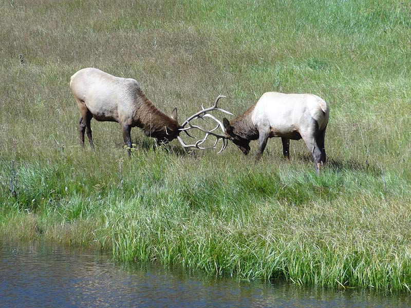 yellowstone-elks-1404