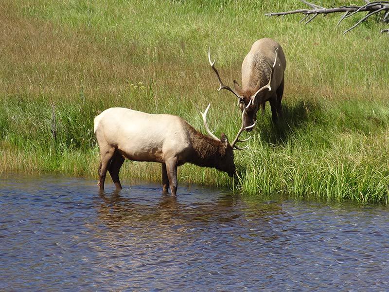 yellowstone-elks-in-greenery-1405