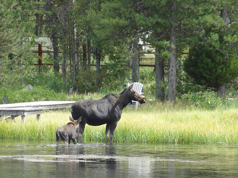 yellowstone-moose-in-green-forests-1406