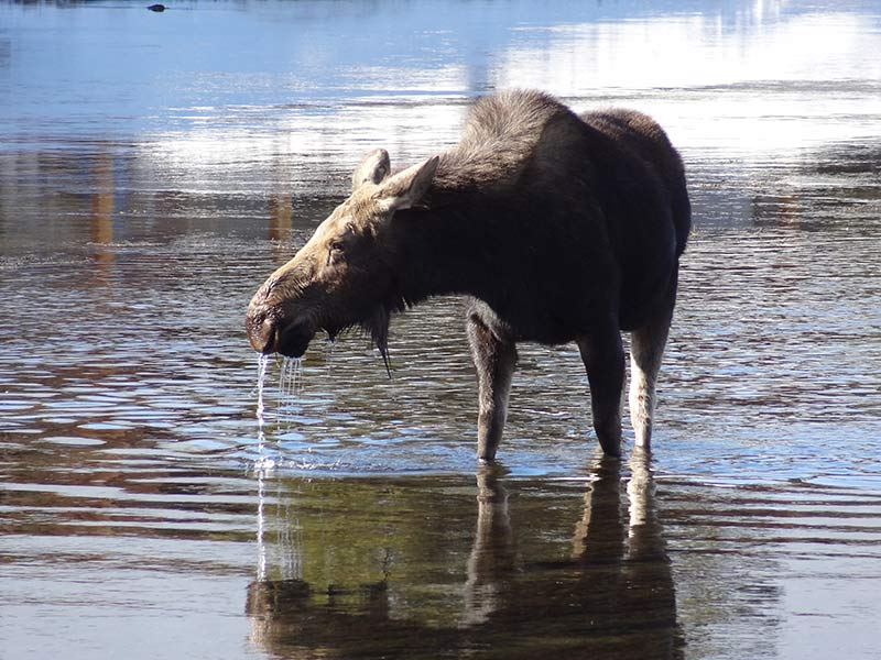 yellowstone-moose-standing-in-water-1399